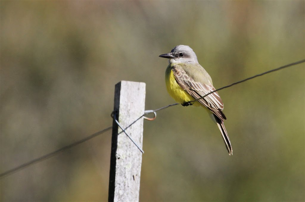Tropical/Couch's Kingbird